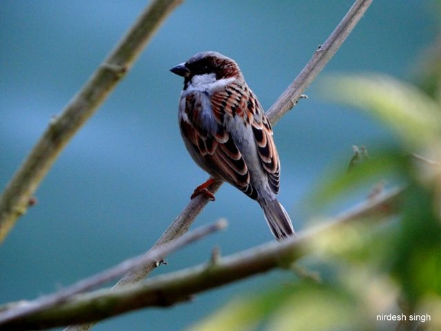 Nainital - The Survivor Sparrow