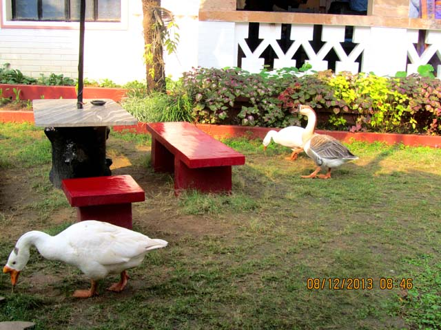 Swans in the hotel garden