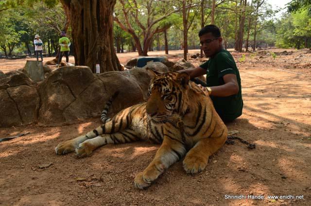 petting a tiger