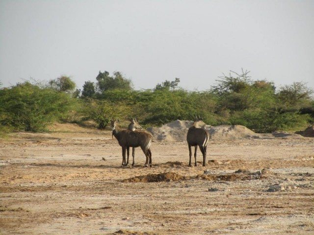 A group of Nilgais
