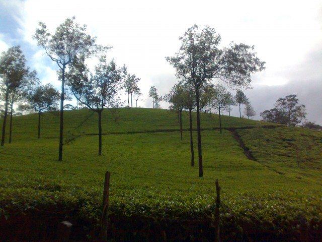 टाटा के चाय बागान