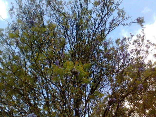 नीले फोलों वाला वृक्ष