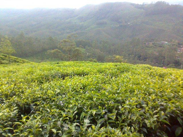 चाय की ताज़ी पट्टियां