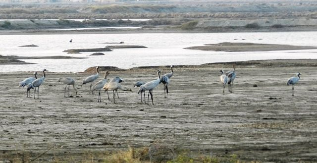 Colony of Black Necked Storks