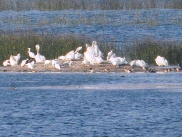 Colony of Common Cranes