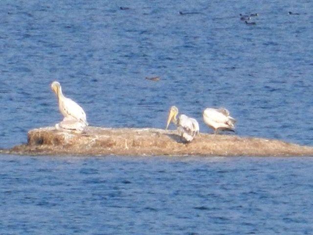 Nesting Pelicans