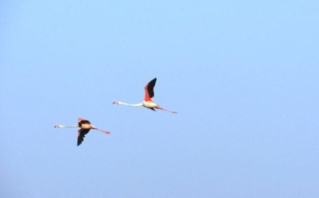 Pair of Lesser Flamingos