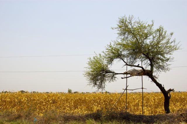 Golden grass of Corn field