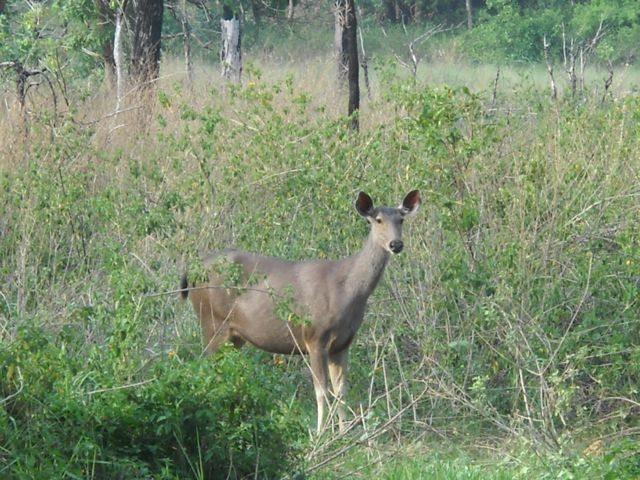 "Ready to be clicked ""Sambar"" deer"