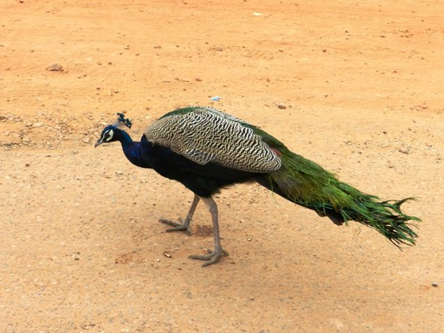 A Domesticated Peacock