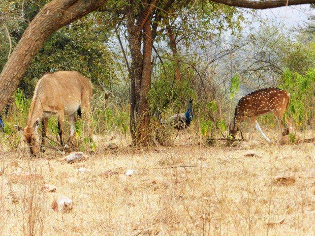 Antelopes & Birds