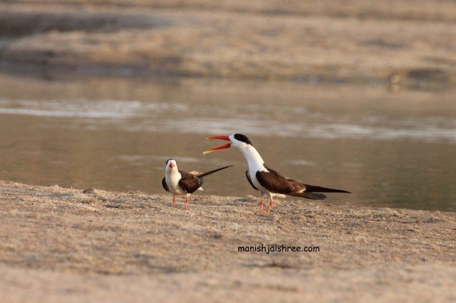Indian Skimmer- male and female, seconds before mating