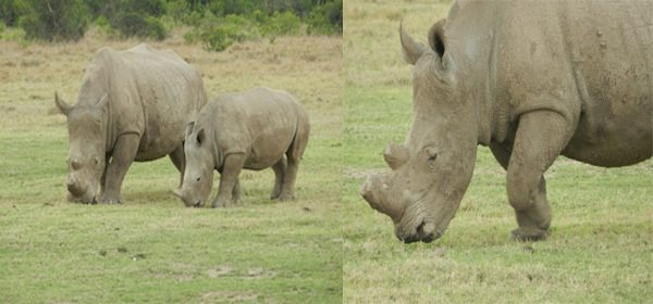 Horns cut to stop their poaching