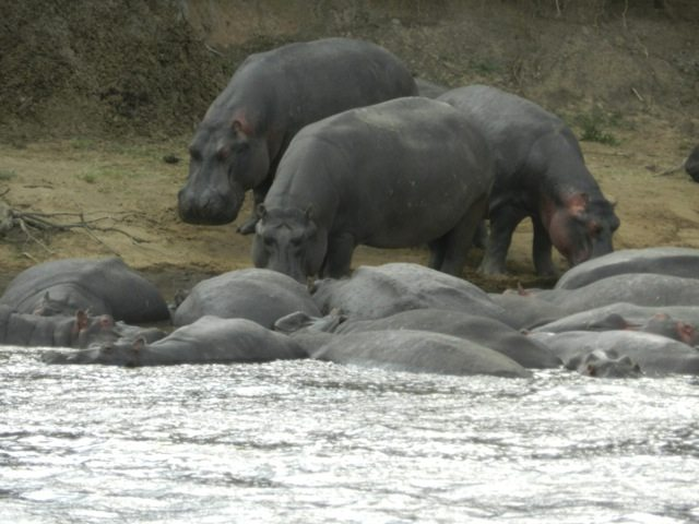 Hippos - Lazing around in water all day !