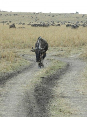 Wildebeest - Each one has to walk their own way....even in the crowd