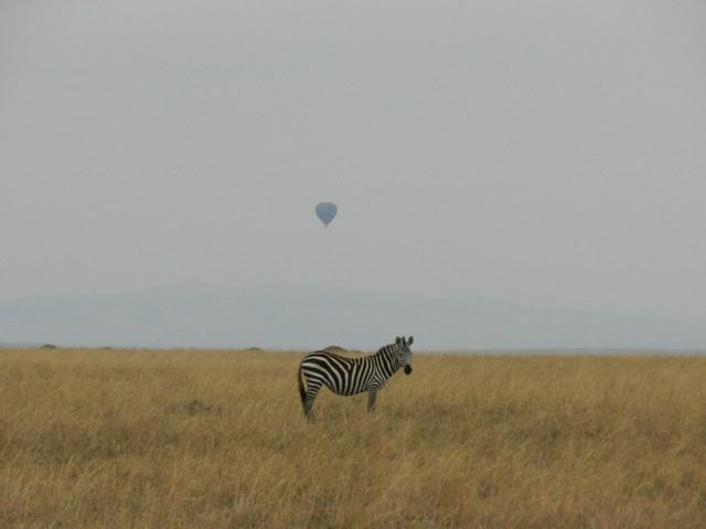 Zebra unaware that a baloon was there right behind him