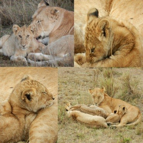 Lion mum & Cubs - The best place to be...in a mothers arms