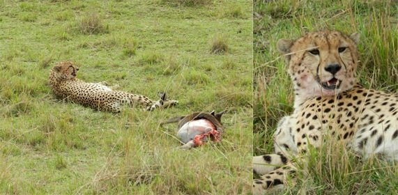 Cheetah - Just after a kill