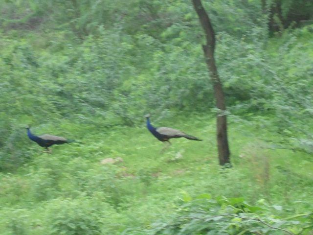 Peacocks on the way