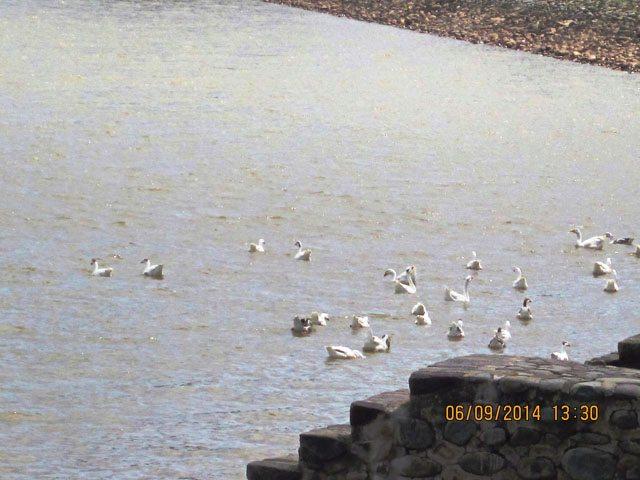 Ducks of Sukhna Lake