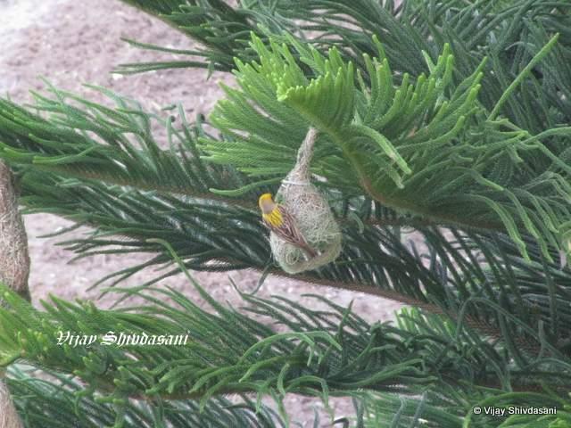 Weaver bird near Kelwara.