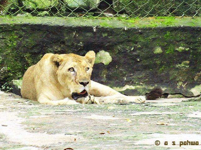 शेर तो निश्चित ही सबके आकर्षण का केंद्र होता ही है