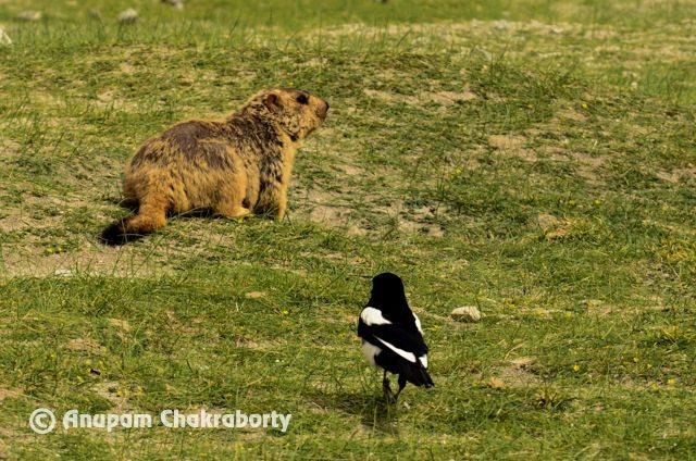 Himalayan Marmot and Black Billed Magpie Bird at Tangtse
