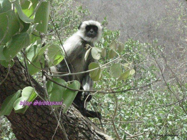 Langur monkey peering at us near Ranakpur