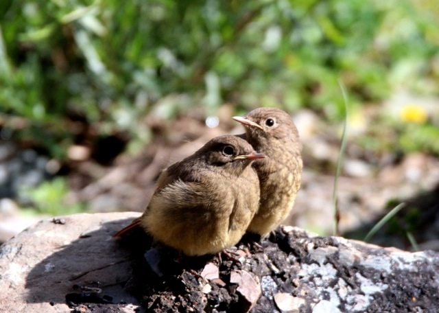 Black Redstart chicks