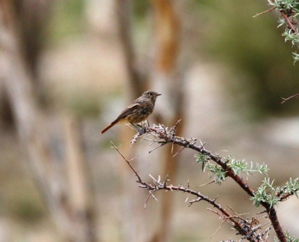 Black Redstart juvenile
