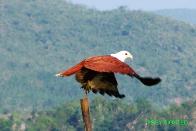 Brahmani Kite