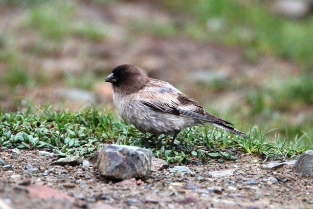 Brandt's Mountainfinch