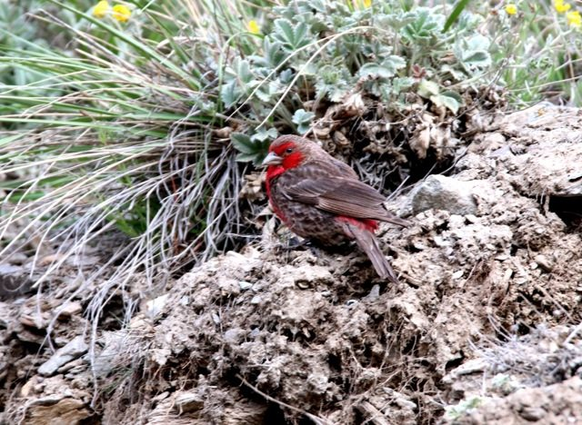Crimson fronted Rosefinch