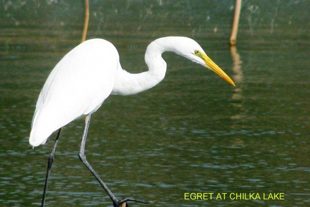 Egret, Chilka