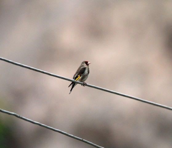 Eurasian Goldfinch