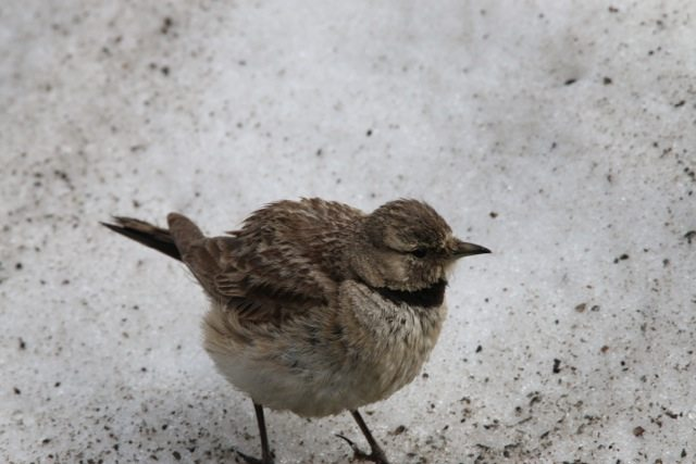 Horned Lark chick on the snow in Baralachla