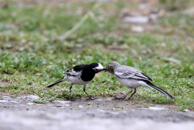 White Wagtail feeding its young