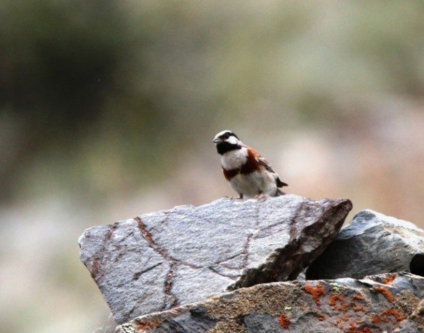 White capped Bunting (m)