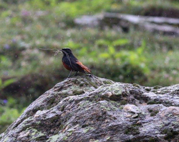 White capped Redstart with nesting material