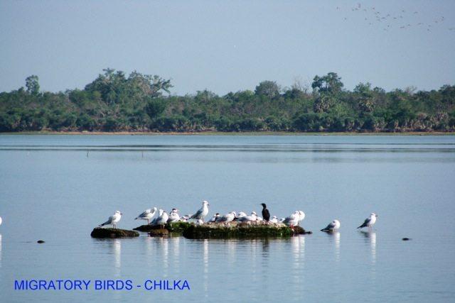 migratory birds, Chilka