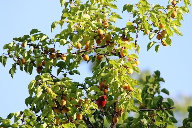 A Common Rosefinch on the Chuli tree (bottom center!)