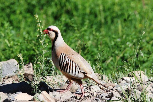 Chukar (partridge)