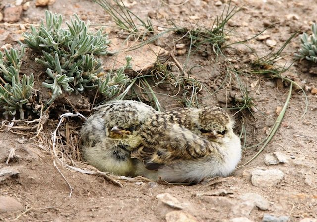 Newly hatched Horned Lark Chicks