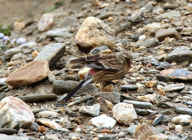 The Twite (male)