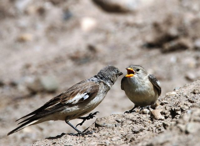Tibetan Snowfinch feeding the young