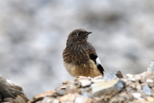 White winged Redstart juvenile