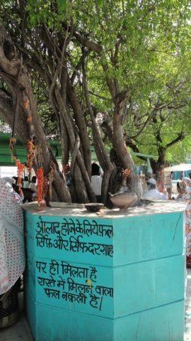 The tree at the Dargah at Taragarh fort