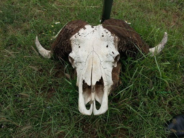Decoration with bison skull in front of his quarters