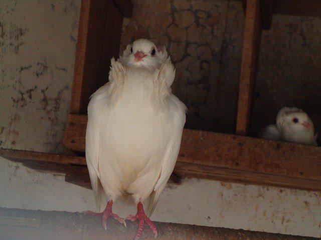 किंग पक्षी