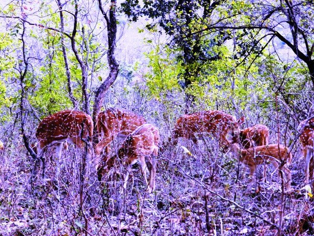 Herd of Spotted Deers